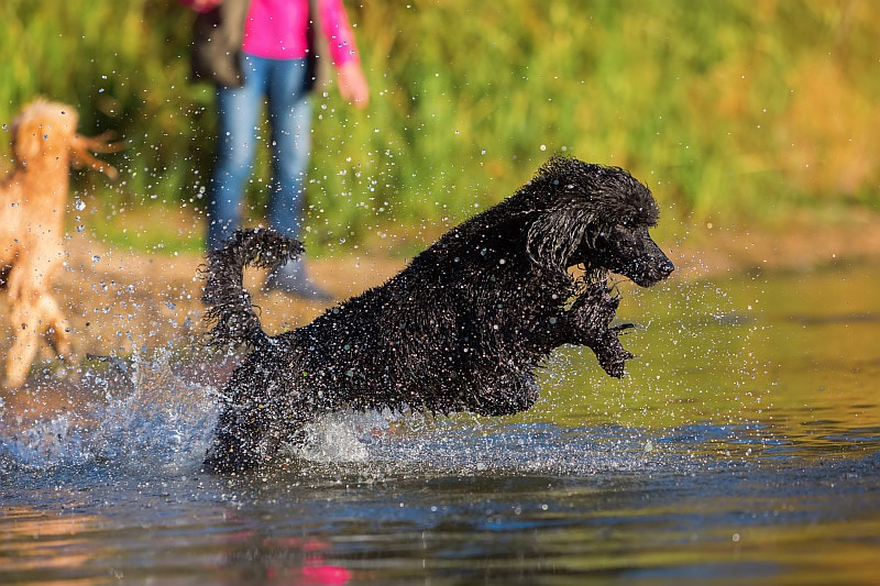 Royal black poodle jumping in the walter