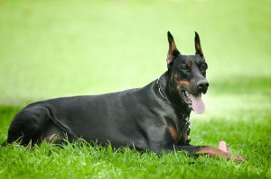 Doberman dog on the grass