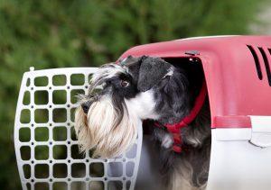 Schnauzer dog in plastic carrier