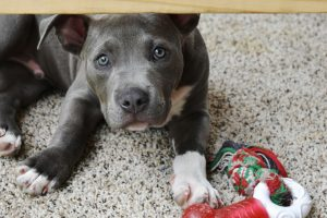 Puppy with chewing toy