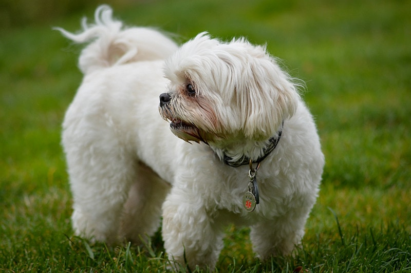Maltese dog with collar and ID tag standing on the grass