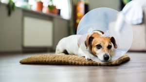 Dog with cone collar