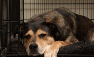 Dog resting in crate