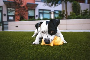 Black and white puppy playing with squeaky toy in the grass