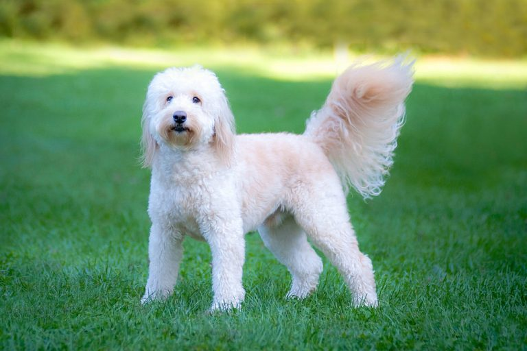 Goldendoodle dog on the grass