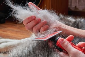 Siberian husky brushing