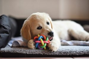 Labrador puppy playing with a toy