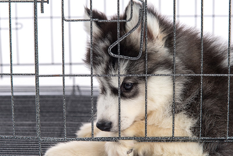 Siberian husky puppy in the cage