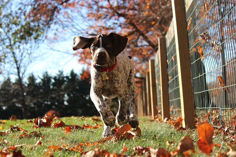Loose dog running beside a fence