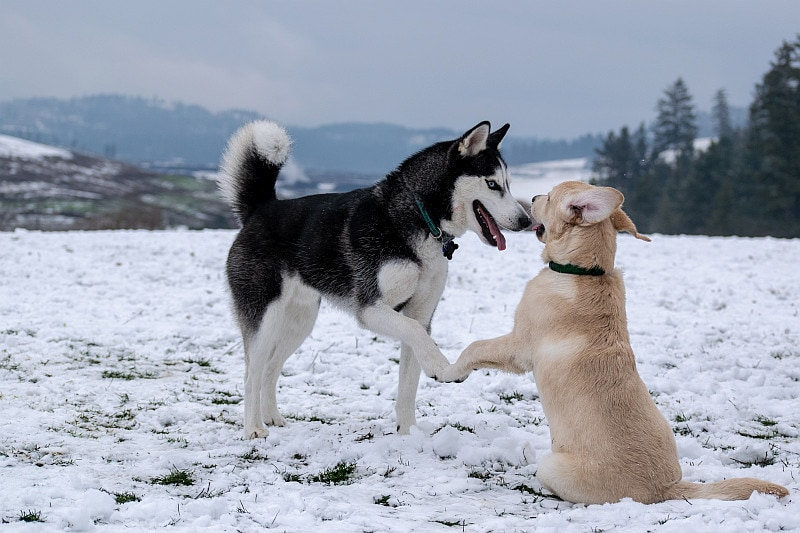 Two dogs introduction on the snow