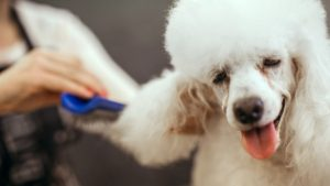 Grooming a white poodle in a hair salon for dogs.