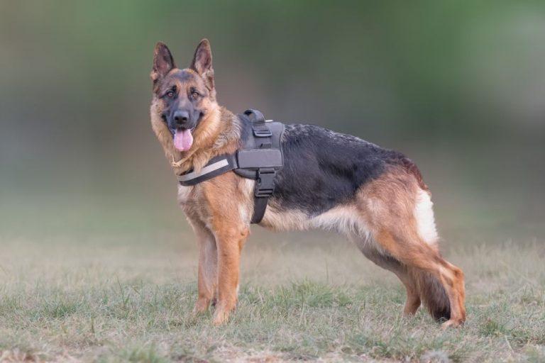 German Shepherd wearing harness outdoors