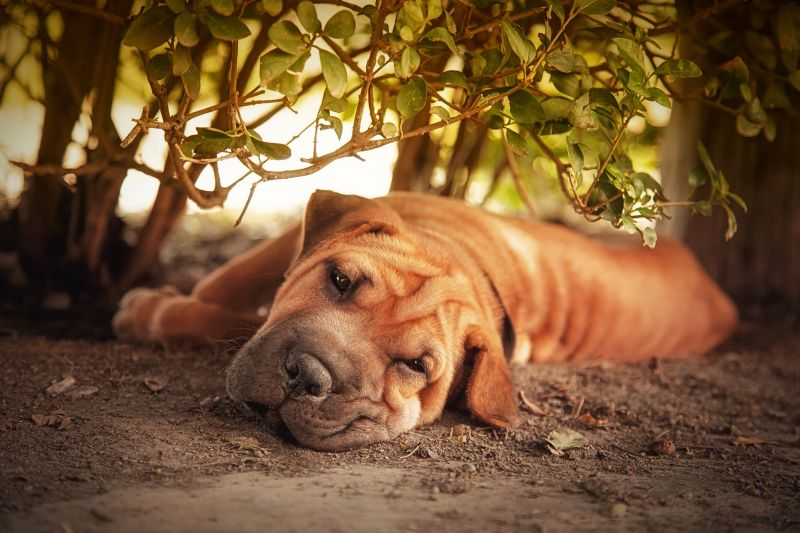 Dog Resting In the Shade