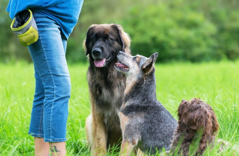 Woman with training treat bag on her waist and three dogs waiting for treat