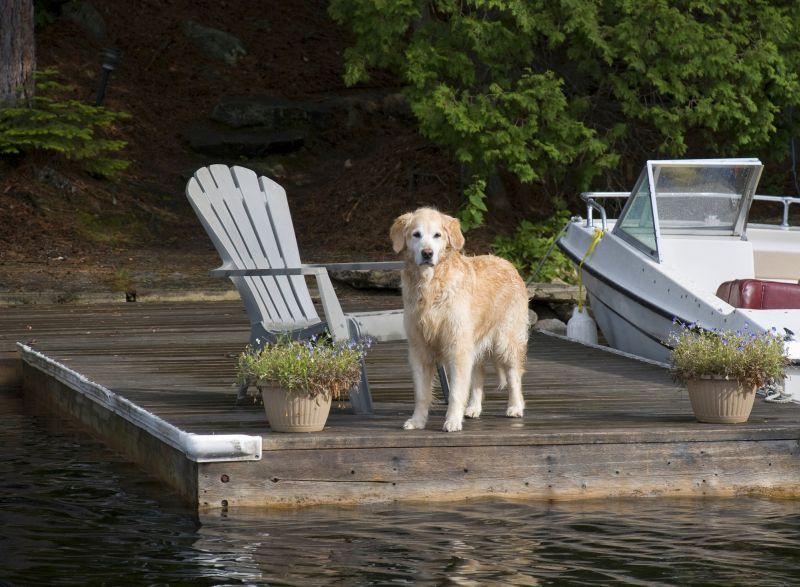 Retriever on the Dock near Boat