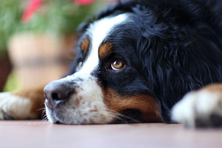 Laying Swiss Bernese Dog
