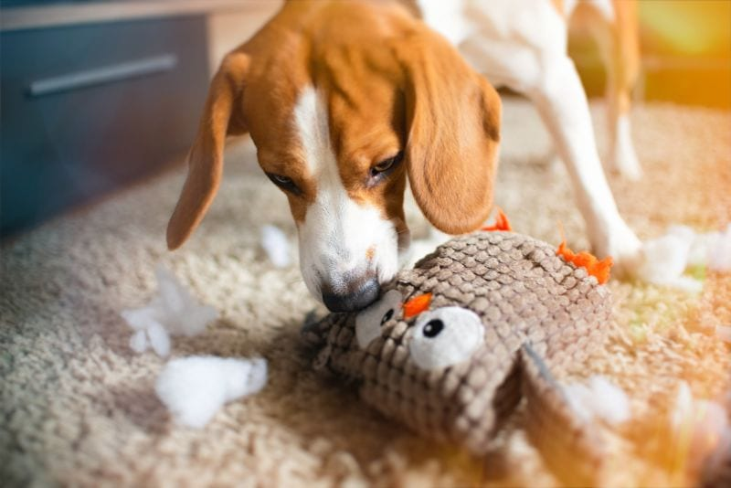 Beagle dog rip a toy into pieces on a carpet