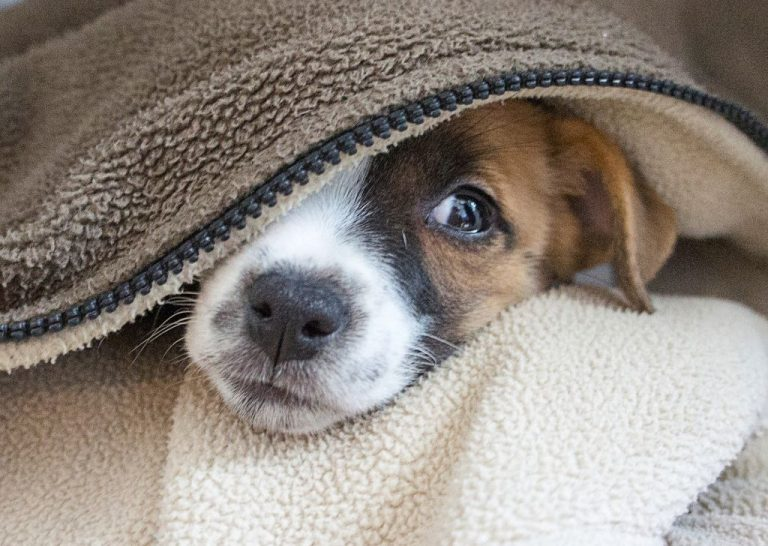Dog burrowed under the bed cover