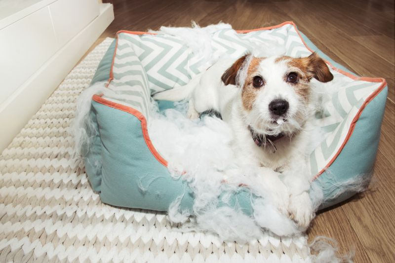 bad naughty dog destroyed its pet bed with innocent face express
