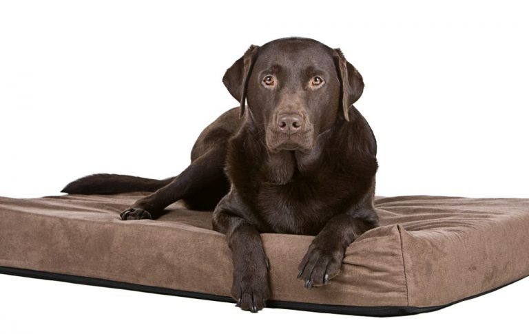 Labrador on Memory Foam Bed