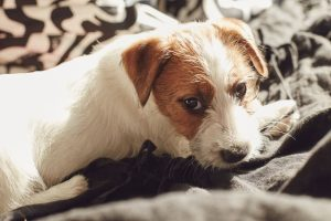 Jack Russell Terrier puppy sitting on a bed