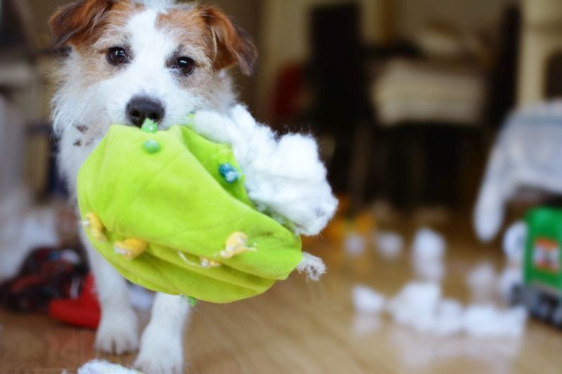 DOG MISCHIEF. FUNNY AND GUILTY JACK RUSSELL DESTROYED A FABRIC AND FLUFFY BALL AND TOYS AT HOME.