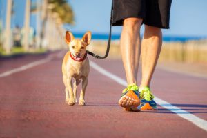 chihuahua dog close together to owner walking with leash outside at the park