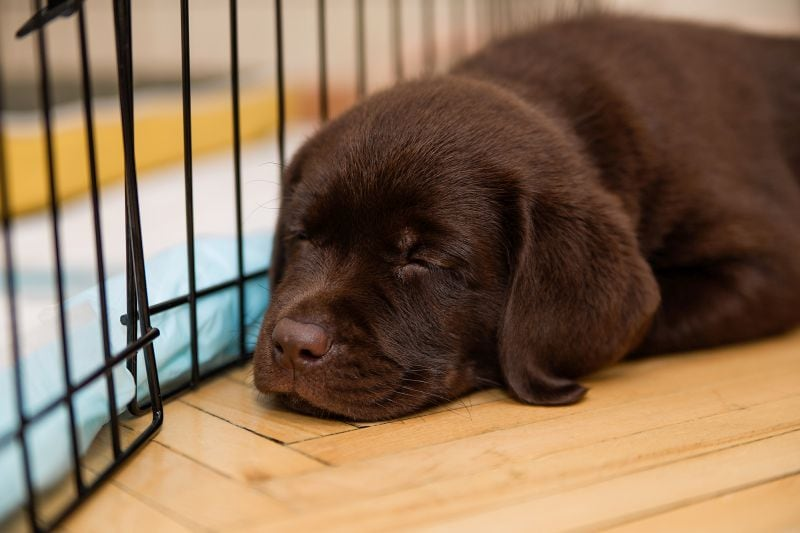 Labrador puppy chocolate color lies on the parquet floor near the cage.