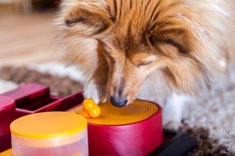 A Shetland Sheepdog on a puzzle dog toy