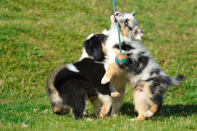 Australian Shepherd puppies playing with ball on the rope