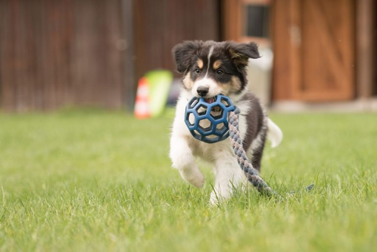 Border collie dog puppy runs happily with a toy and plays