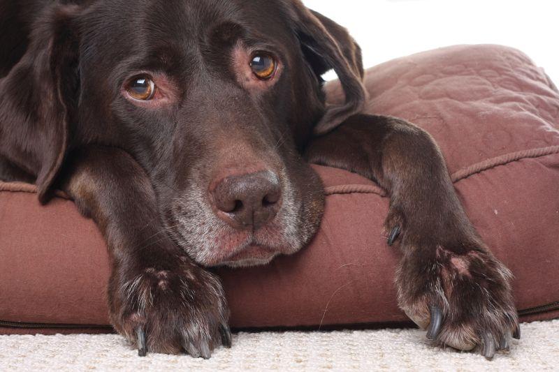 Old brown labrador retriever on bed