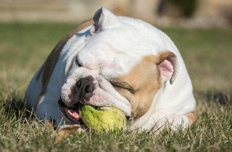 English bulldog playing with damaged tennis ball outside in the grass