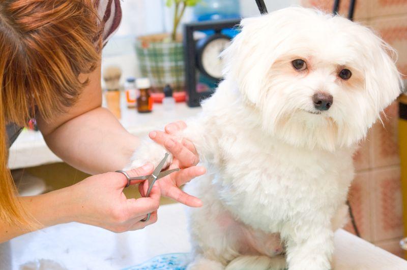Maltese dog grooming