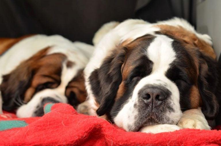 Couple of purebred st bernard dogs sleeping