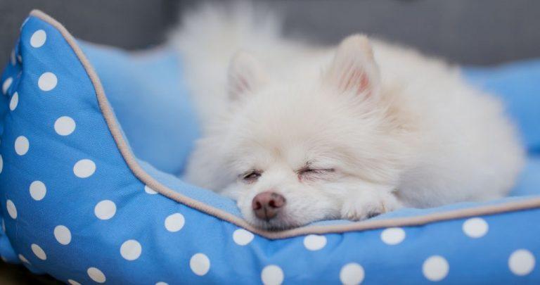Pomeranian dog sleeping on bed