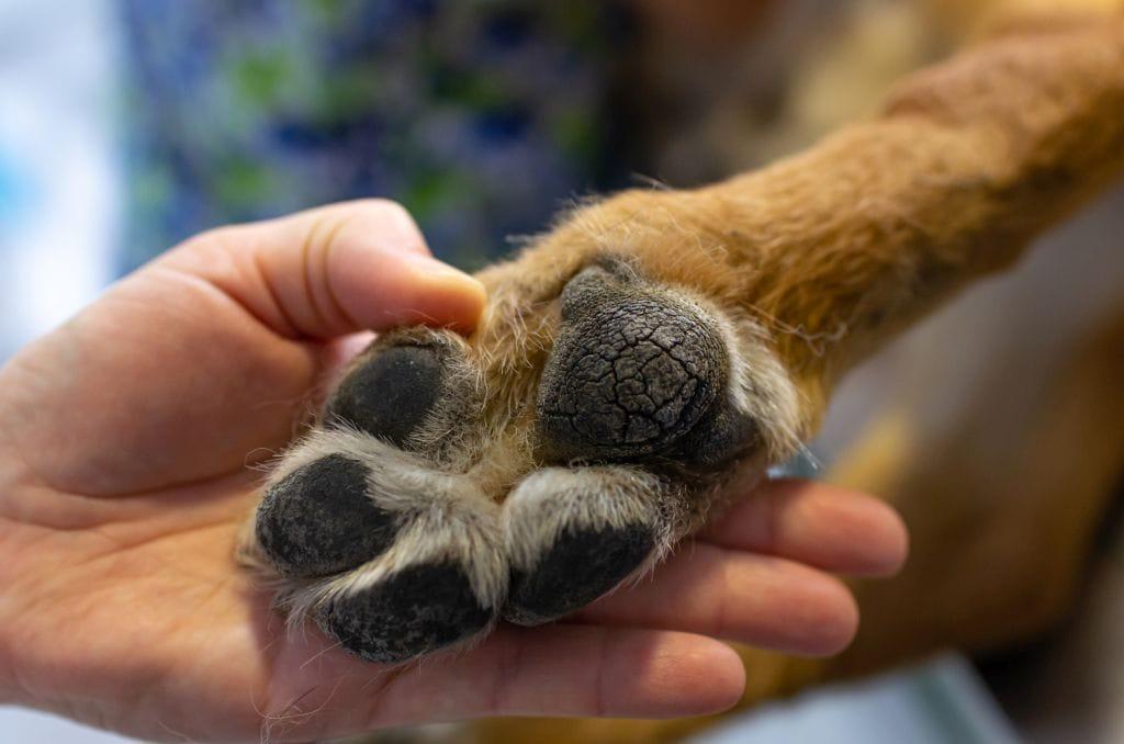 Veterinarian showing the paw of a german shepherd