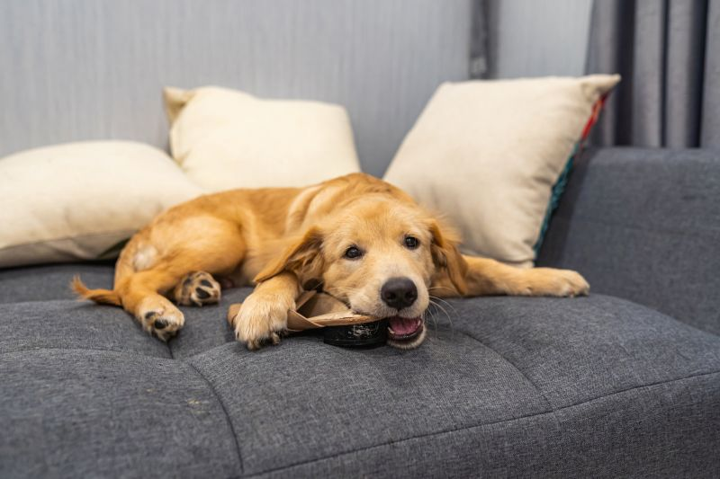 Dodgy golden retriever puppy laying on sofa and biting a shoe