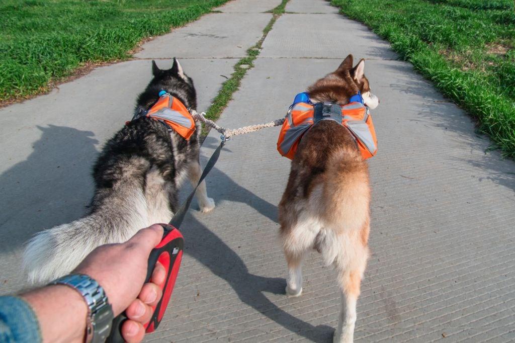 Siberian husky with orange backpacks running on the summer road.