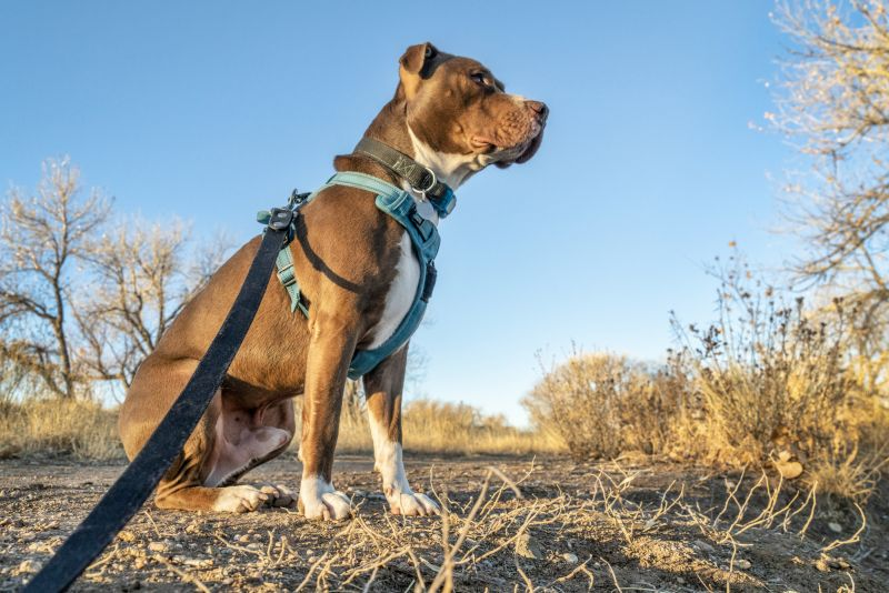 Young pit bull terrier dog sitting in harness on leash.