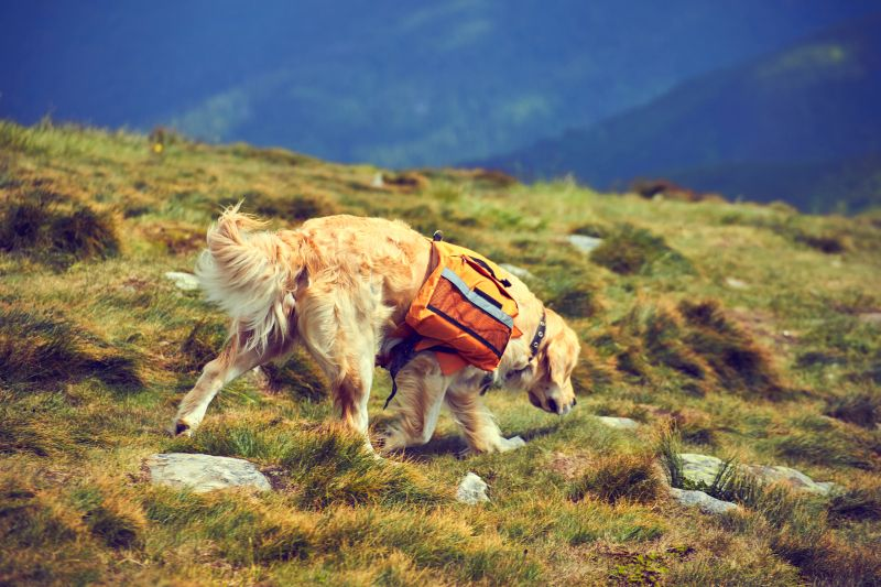 A dog with a backpack in a hike in the summer.