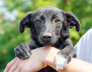 Black puppy holding a human hand