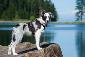 Young border collie dog in harness at a lake.