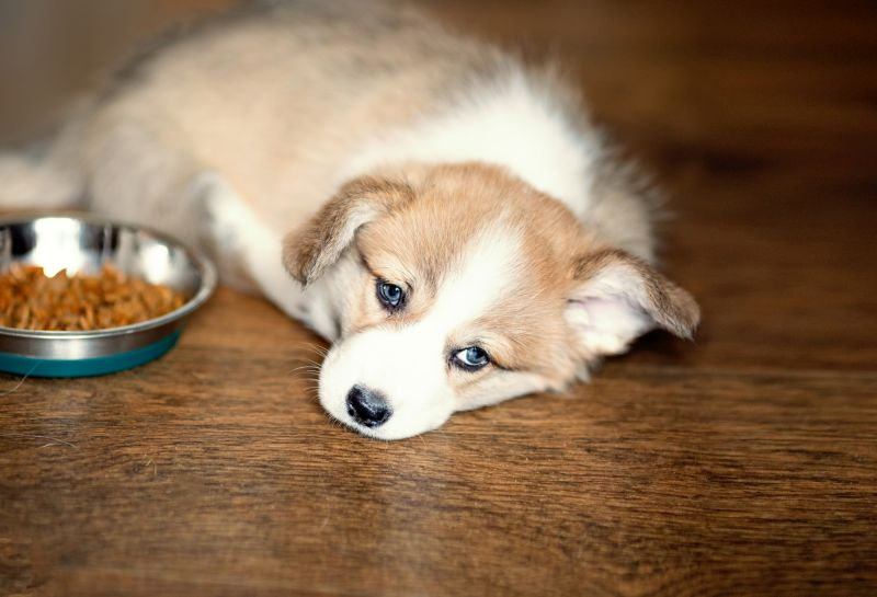 Cute Puppy laying on the floor near food bowl.