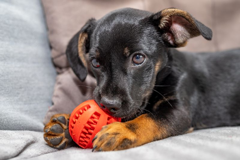 A young dog on the sofa with a biting ball.