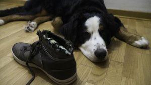 Bernard mountain dog lying next to chewed shoe
