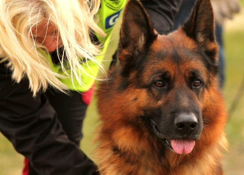 Grooming German Shepherd